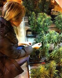 obrazek-z-marihuana
