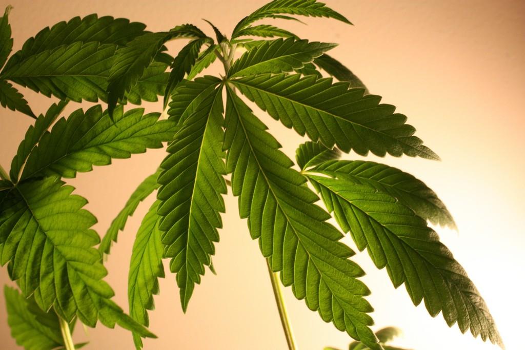 Ustawa o Legalizacji Konopi Została Przedstawiona w Teksasie, GrubyLoL.com