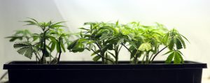Rodziny przenoszą się do Kolorado w celu uzyskania medycznej marihuany dla dzieci cierpiących na epilepsję, GrubyLoL.com