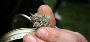 fakty-na-temat-medycznej-marihuany-swieza-medyczna-marihuana-czy-thc-swietne