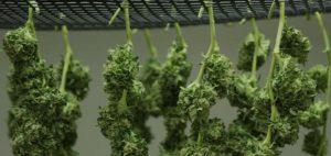 Legalizacja marihuany może uderzyć w przestępczość zorganizowaną i czarny rynek, GrubyLoL.com