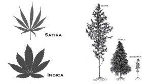 sativa-indica-cannabis-sativa-cannabis-indica-konopia-kannabis