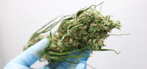 """""""Green is Gold"""" jest filmem o marihuanie, na który czekałeś, GrubyLoL.com"""