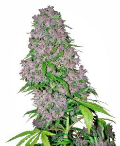 Strach przed legalną marihuaną, GrubyLoL.com