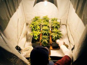 Marihuana to lek, GrubyLoL.com