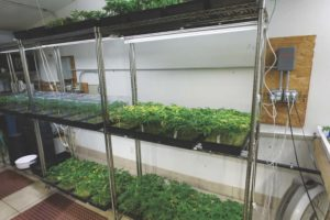 Już wkrótce: Dostawa cannabis?, GrubyLoL.com