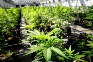 Główne korzyści marihuany, GrubyLoL.com