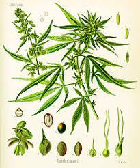 5 najmocniejszych odmian marihuany, GrubyLoL.com