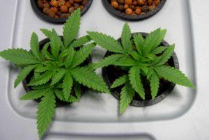 Ile nasion marihuany na jedną doniczkę?, GrubyLoL.com
