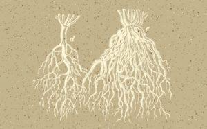 Zdrowe korzenie roślin cannabis, GrubyLoL.com