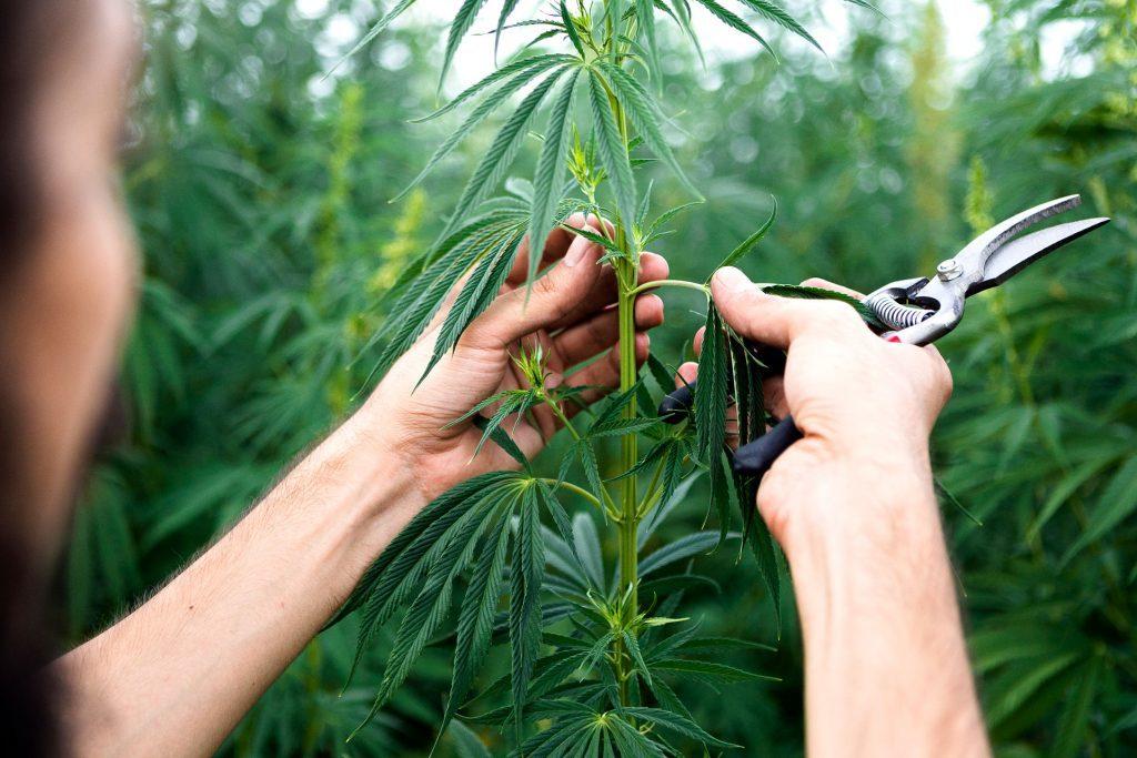 10 Szybko Rosnących Odmian Cannabis, GrubyLoL.com