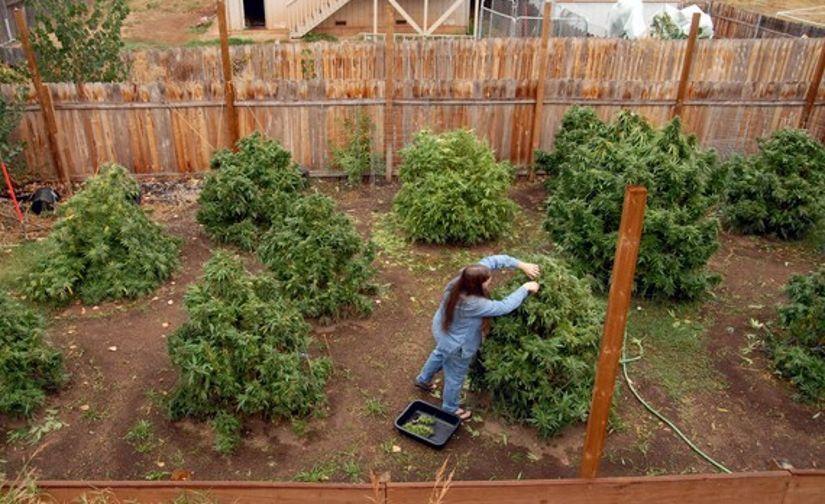 Nawożenie cannabis – wszystko co musisz wiedzieć, GrubyLoL.com