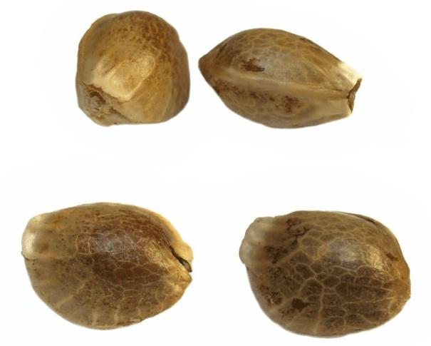 Kiełkowanie nasion marihuany metodą papierową, GrubyLoL.com