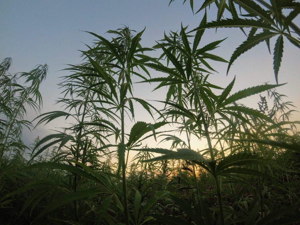 10 mitów i faktów na temat marihuany, GrubyLoL.com