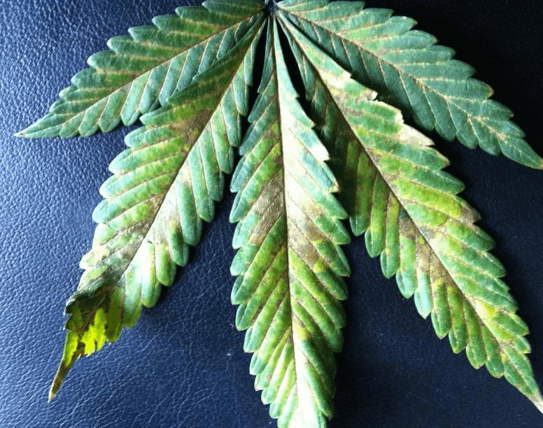 Cannabis i psy, GrubyLoL.com