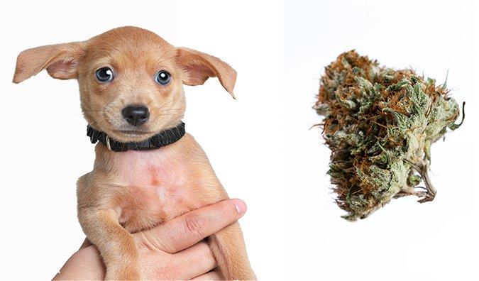 Produkty zastosowania miejscowego i zwierzęta domowe, GrubyLoL.com