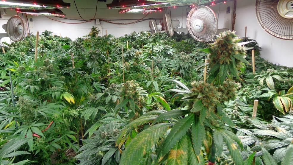 Co Zrobić, Aby Uzyskać Gigantyczne Pąki Marihuany?, GrubyLoL.com