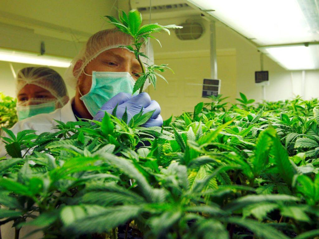Czym Jest Destylat z Cannabis?, GrubyLoL.com