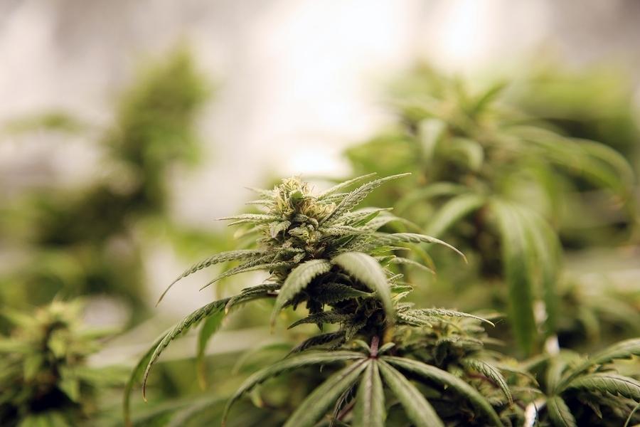 Medyczna marihuana zmniejsza doświadczany ból, GrubyLoL.com