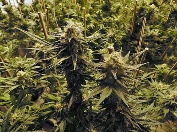 Sposób Na Zwiększenie Ilości Terpenów w Uprawie Marihuany, GrubyLoL.com