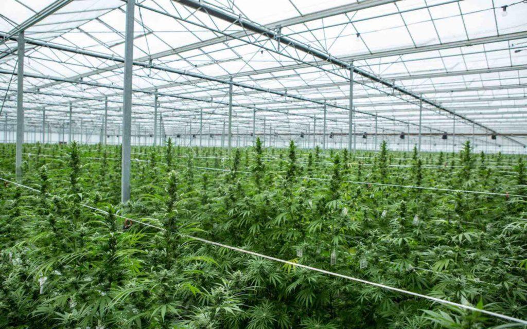Akcje Marihuany Wzrosły od Czasu Ogłoszenia Wyników Wyborów w USA, GrubyLoL.com