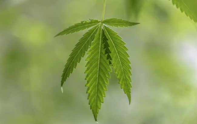 Czym Jest Tolerancja Marihuany?, GrubyLoL.com